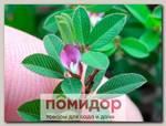Куммеровия Полосатая, 10 шт.