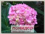 Гортензия крупнолистовая ЛЕ МАРН, 1 шт.
