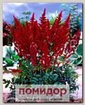 Астильба японская RED SENTINEL, 1 шт.