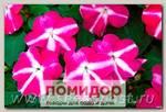 Бальзамин ампельный Тумблер Виолет Стар, 100 шт. Профессиональная упаковка