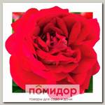 Роза грандифлора КАРАВЕЛЛА, 1 шт. NEW
