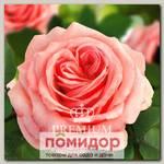 Роза Премиум АМЕЛИ, 1 шт. NEW