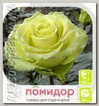 Роза чайно-гибридная ГРИН ТИА, 1 шт.