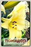 Лилия длинноцветковая DELIANA, 2 шт.