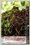 Колеус Шоколад Минт, 100 драже Профессиональная упаковка