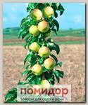 Яблоня колонновидная ПРЕЗИДЕНТ, 1 шт.