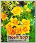 Лапчатка кустарниковая МАНГО ТАНГО, 1 шт. СЕВЕРНЫЙ САД