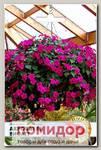 Импатиенс (бальзамин) ампельный Акробат Виолет F1, 8 шт.