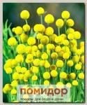 Цефалофора (земляничная трава), 10 шт.