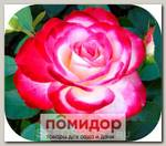 Роза чайно-гибридная КЛУБНИКА СО СЛИВКАМИ, 1 шт. NEW