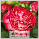 Роза Премиум РАНДЕВУ, 1 шт. NEW