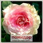Роза плетистая ЮЛИЙ ЦЕЗАР, 1 шт. NEW