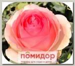 Роза плетистая ДЖАРДИНО, 1 шт. NEW