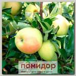 Яблоня карликовая ЧУДНОЕ, 1 шт.